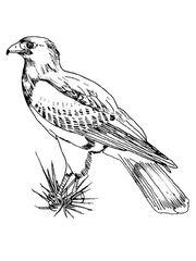 Hawk-drawing-desert-hawk-6
