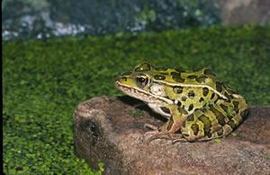 LeopardFrog