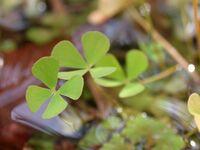 Maesilea quadrifolia denjisou01