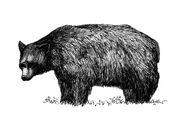 Fig P1.11 Black Bear