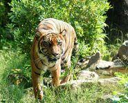 Tiger-8057 640