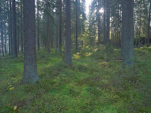 File:Scandinavian Forest.jpg