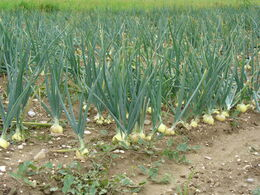 Field with onions-1-