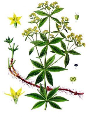 Rubia tinctorum - Köhler–s Medizinal-Pflanzen-123-1-