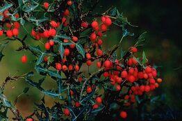 Berberis trifoliolata berries