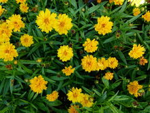1280px-Coreopsis grandiflora -Heliot- 2