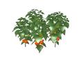 Lantern Plant Fruit 3 (DWO)