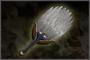 War Fan (DW4)