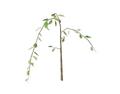 Plum Blossom 1 (DWO)