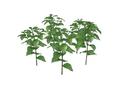 Lantern Plant Fruit 2 (DWO)