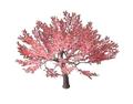 Peach Blossom 3 (DWO)