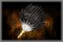 Black Feather (Dark Feather)