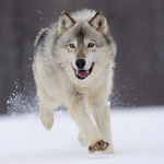 Lightning Wolf's avatar