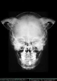 Rönkenbild von einen Dicloniusschädel
