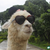 Tim The Llama
