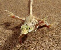 Namibia-lizard-pg 666821n