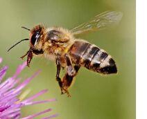Honey-bee-1