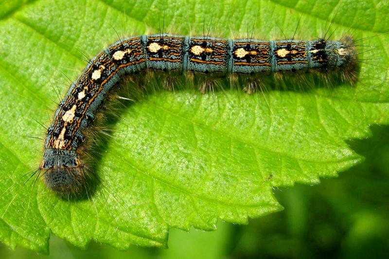 Forest tent caterpillar kt.jpg & Image - Forest tent caterpillar kt.jpg | Ectotherms Wiki | FANDOM ...