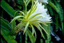 Цветок питахайиъ