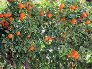 Дерево клементинов