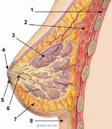 Breast anatomy normal scheme