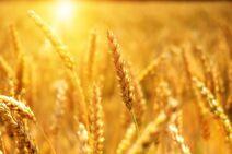 Wheat-3506758 1280-0