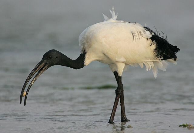 File:African Sacred Ibis.jpg