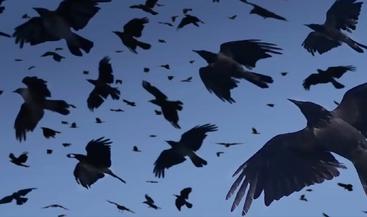 Crowsvscrows