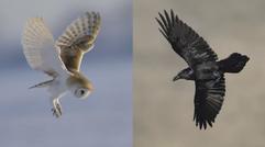 Lechuza contra Cuervo