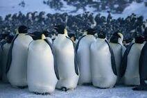 Keisaripingviinejä