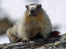 250px-Marmota flaviventris
