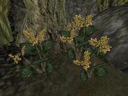 Золотой канет (растение) 01