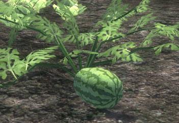 File:Watermelon Vine.jpg