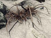 Trama Root