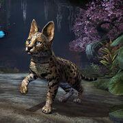 Котёнок сенч-сервала