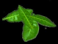 Листья примулы