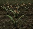 Saltrice (Morrowind)