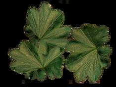 Листья манжетки