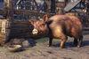 Bristlegut Pig