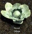 Cabbage plant.jpg