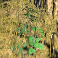 Blessedthistle Online.png