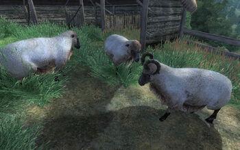 Овцы (Обливион)
