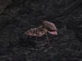 Scrib (Morrowind)
