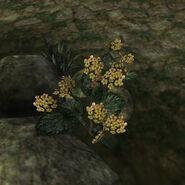 Золотой канет (растение) 02