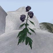 Цветок аконита (Bloodmoon)