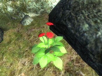 Женьшень красный