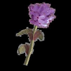 Лиловый горноцвет