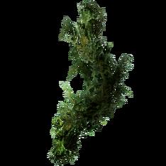 Бородатый мох