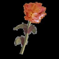Красный горноцвет