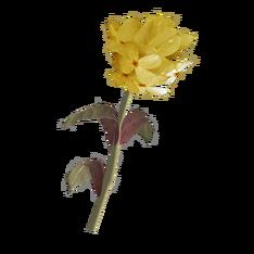 Жёлтый горноцвет